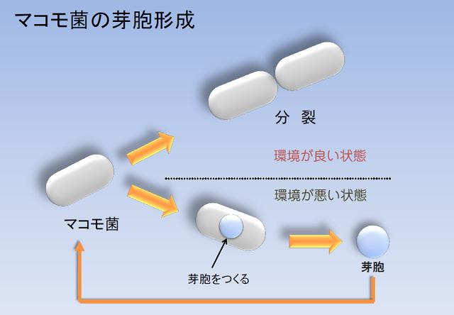 マコモ菌の芽胞形成_640